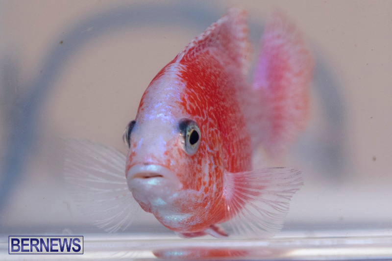 Fry-Angle-Aquarium-Fish-Show-Bermuda-November-17-2018-9246