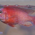 Fry-Angle Aquarium Fish Show Bermuda, November 17 2018-9248