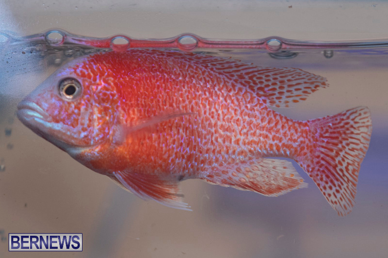 Fry-Angle-Aquarium-Fish-Show-Bermuda-November-17-2018-9248