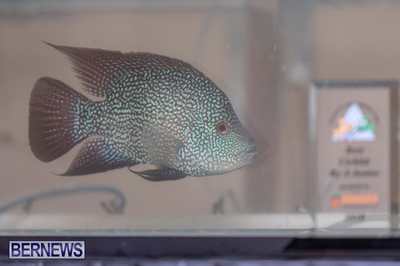 Fry-Angle-Aquarium-Fish-Show-Bermuda-November-17-2018-9252