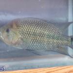 Fry-Angle Aquarium Fish Show Bermuda, November 17 2018-9256