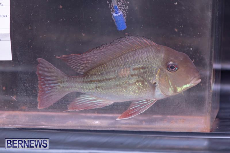 Fry-Angle-Aquarium-Fish-Show-Bermuda-November-17-2018-9259