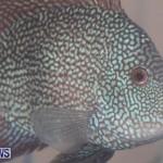 Fry-Angle Aquarium Fish Show Bermuda, November 17 2018-9261