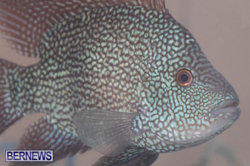 Fry-Angle-Aquarium-Fish-Show-Bermuda-November-17-2018-9261
