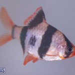 Fry-Angle Aquarium Fish Show Bermuda, November 17 2018-9273