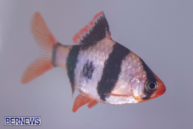 Fry-Angle-Aquarium-Fish-Show-Bermuda-November-17-2018-9273