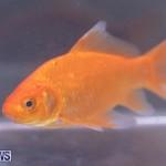 Fry-Angle Aquarium Fish Show Bermuda, November 17 2018-9277