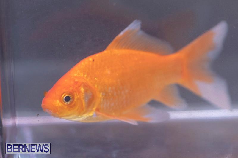 Fry-Angle-Aquarium-Fish-Show-Bermuda-November-17-2018-9277
