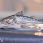 Fry-Angle Aquarium Fish Show Bermuda, November 17 2018-9295