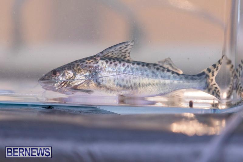 Fry-Angle-Aquarium-Fish-Show-Bermuda-November-17-2018-9295