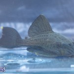 Fry-Angle Aquarium Fish Show Bermuda, November 17 2018-9303