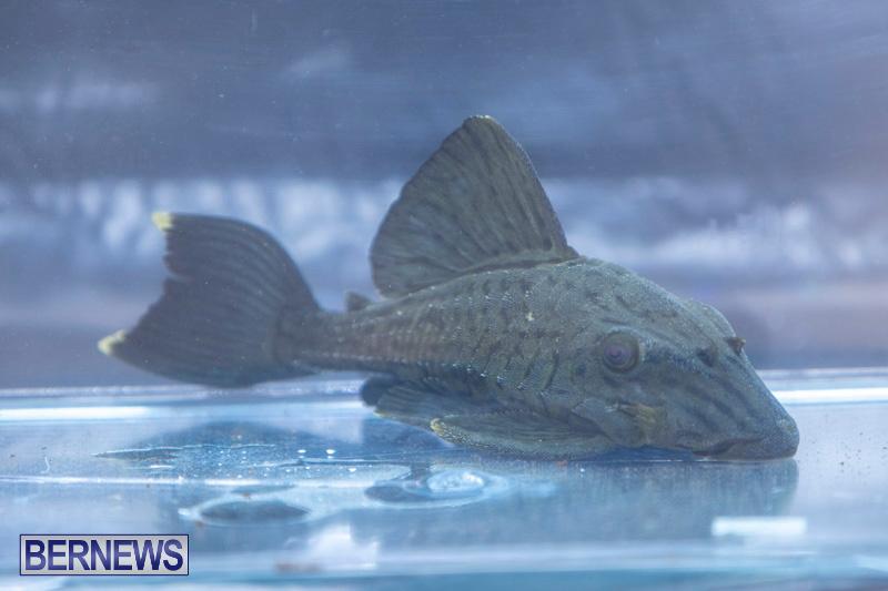 Fry-Angle-Aquarium-Fish-Show-Bermuda-November-17-2018-9303