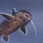 Fry-Angle Aquarium Fish Show Bermuda, November 17 2018-9309