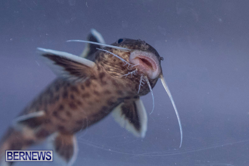 Fry-Angle-Aquarium-Fish-Show-Bermuda-November-17-2018-9309