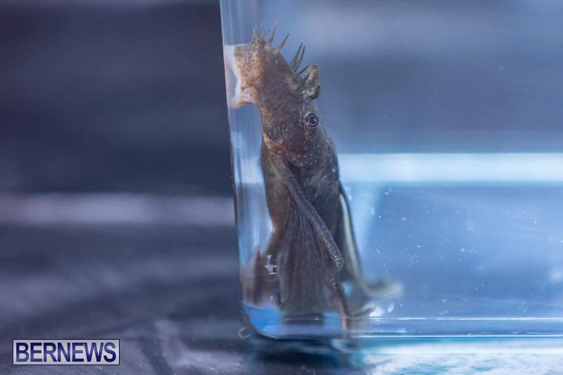 Fry-Angle-Aquarium-Fish-Show-Bermuda-November-17-2018-9311