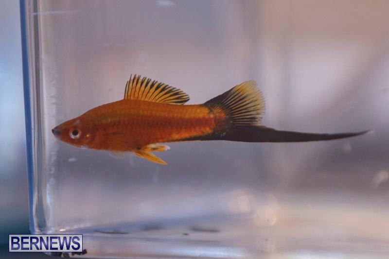 Fry-Angle-Aquarium-Fish-Show-Bermuda-November-17-2018-9313