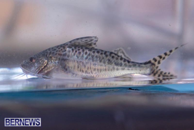 Fry-Angle-Aquarium-Fish-Show-Bermuda-November-17-2018-9315