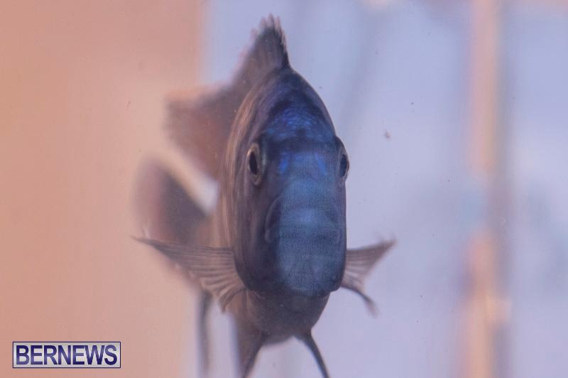 Fry-Angle-Aquarium-Fish-Show-Bermuda-November-17-2018-9333