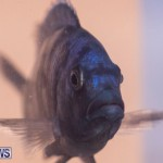 Fry-Angle Aquarium Fish Show Bermuda, November 17 2018-9335