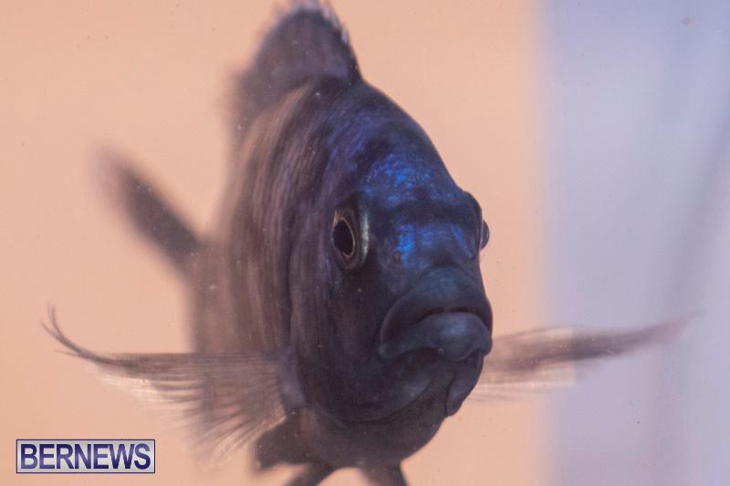 Fry-Angle-Aquarium-Fish-Show-Bermuda-November-17-2018-9335