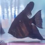 Fry-Angle Aquarium Fish Show Bermuda, November 17 2018-9343