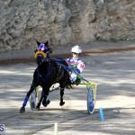 Harness Pony Bermuda Nov 14 2018 (16)