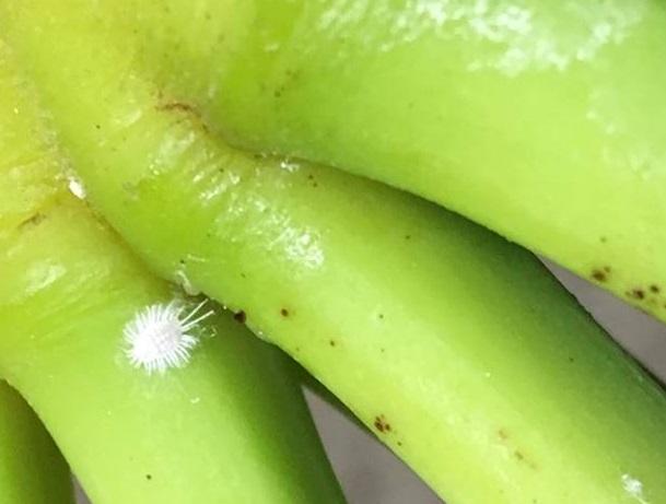 mealy bugcrfopped banana