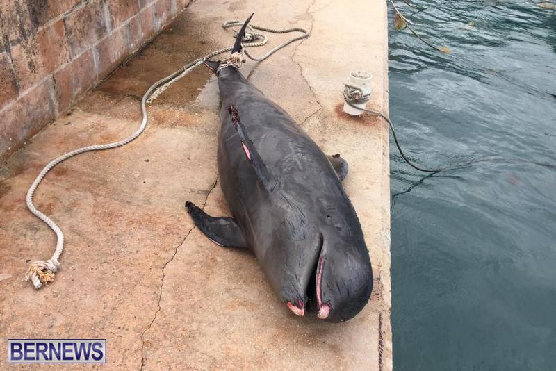 Whale Devonshire Dock Bermuda, January 23 2019 (1)