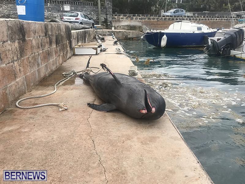 Whale Devonshire Dock Bermuda, January 23 2019 (10)