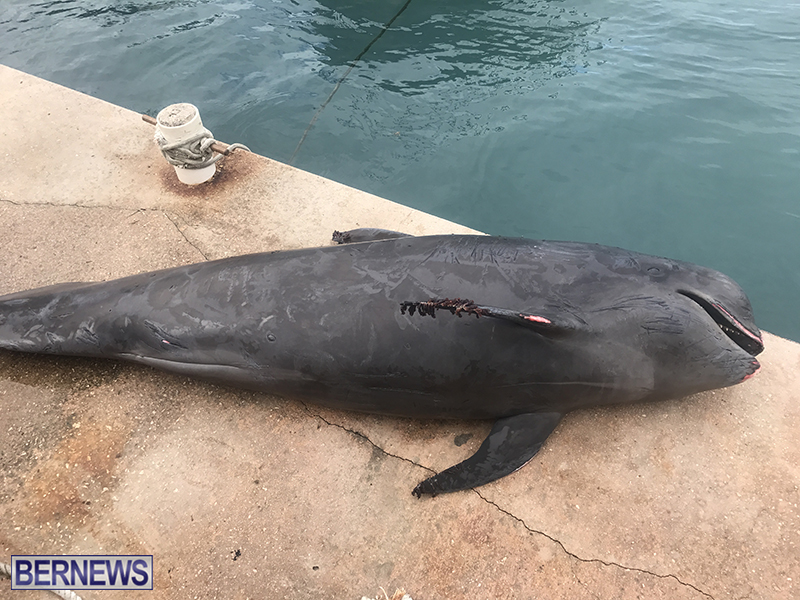 Whale Devonshire Dock Bermuda, January 23 2019 (4)