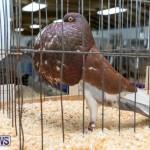 Ag Show Poultry Bermuda, April 10 2019-9957