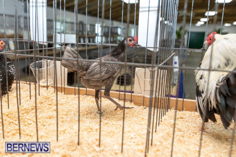 Ag-Show-Poultry-Bermuda-April-10-2019-9964