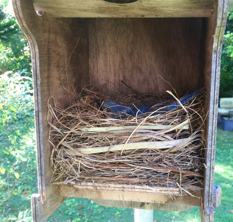 Bluebird nest Bermuda April 2019