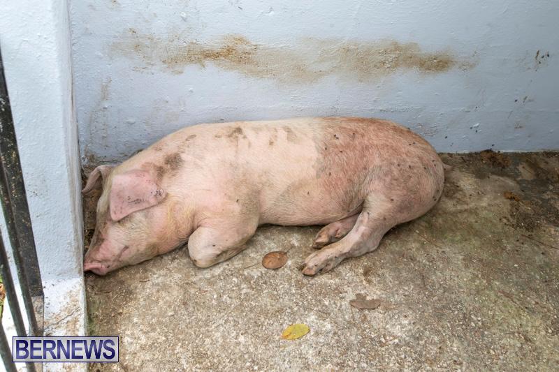Pigs-Ag-Show-Wednesday-Bermuda-April-10-2019-9751