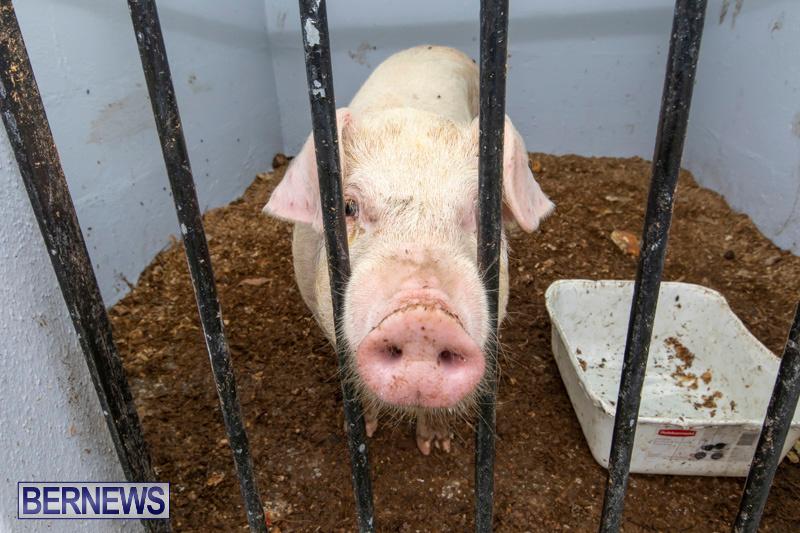 Pigs-Ag-Show-Wednesday-Bermuda-April-10-2019-9753