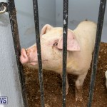 Pigs Ag Show Wednesday Bermuda, April 10 2019-9755