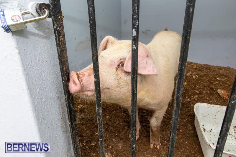 Pigs-Ag-Show-Wednesday-Bermuda-April-10-2019-9755
