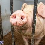 Pigs Ag Show Wednesday Bermuda, April 10 2019-9757