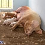 Pigs Ag Show Wednesday Bermuda, April 10 2019-9777