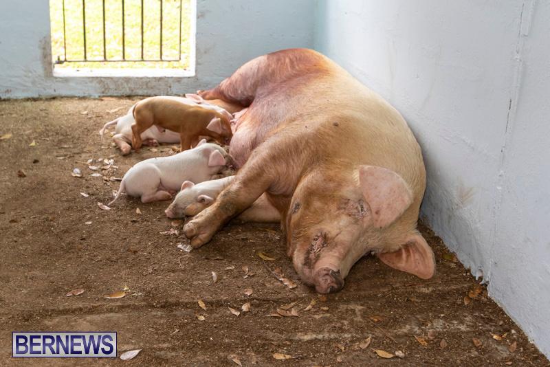 Pigs-Ag-Show-Wednesday-Bermuda-April-10-2019-9777