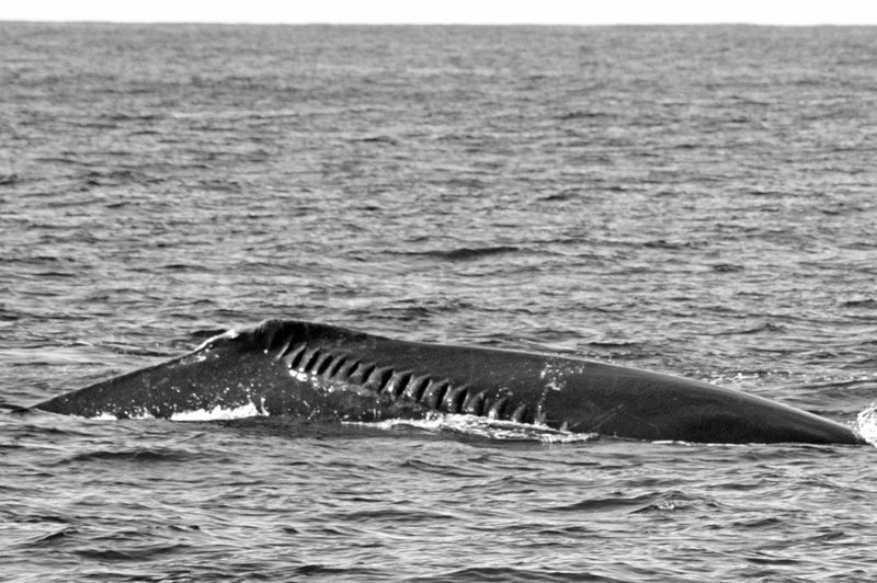 Whale Bermuda April 2019 (1)