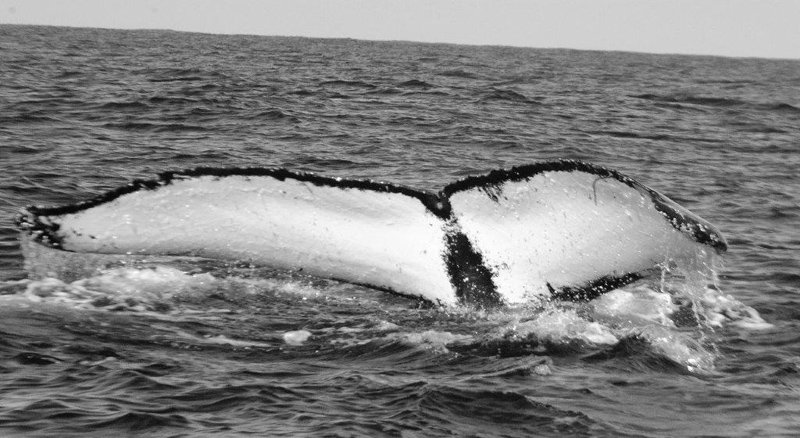 Whale Bermuda April 2019 (4)