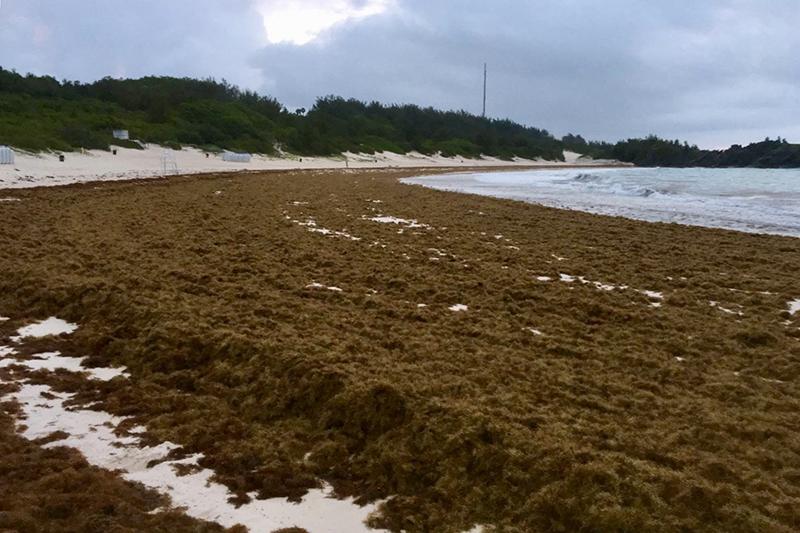 Sargassum Seaweed Bermuda June 2019