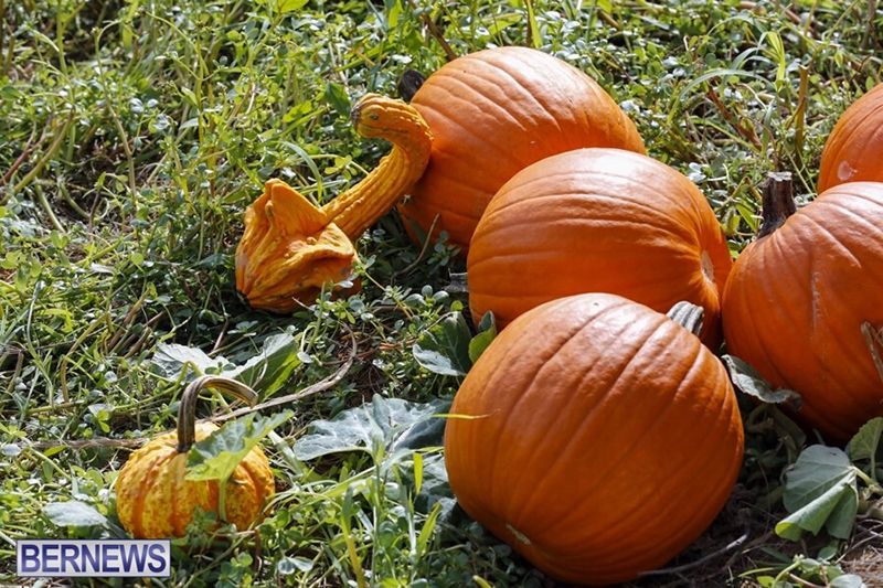 JJ-Produce-Pick-Your-Own-Pumpkin-Bermuda-October-11-2019-17