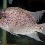 Bermuda Fry-Angle Aquarium Society Annual Tropical Fish Show, November 16 2019-2465