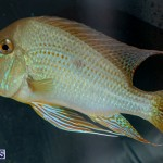 Bermuda Fry-Angle Aquarium Society Annual Tropical Fish Show, November 16 2019-2466