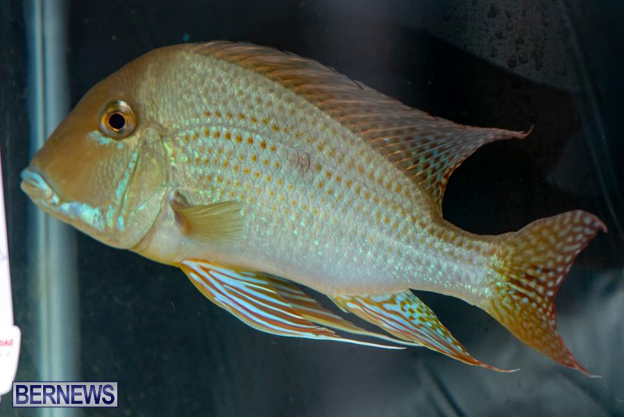 Bermuda-Fry-Angle-Aquarium-Society-Annual-Tropical-Fish-Show-November-16-2019-2466