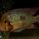 Bermuda Fry-Angle Aquarium Society Annual Tropical Fish Show, November 16 2019-2476