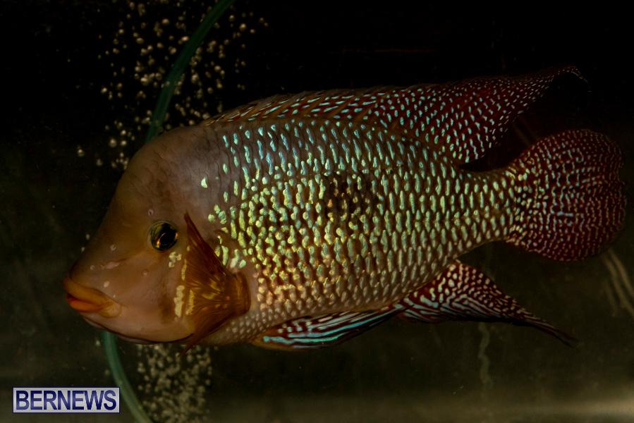 Bermuda-Fry-Angle-Aquarium-Society-Annual-Tropical-Fish-Show-November-16-2019-2476