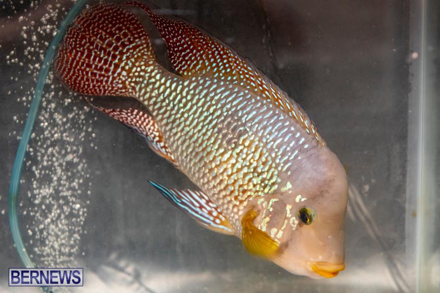 Bermuda-Fry-Angle-Aquarium-Society-Annual-Tropical-Fish-Show-November-16-2019-2480